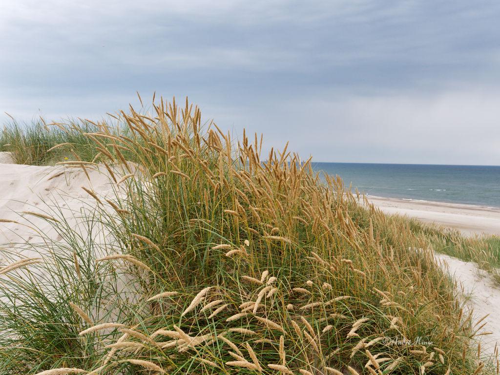 Dünengras am Strand von Henne
