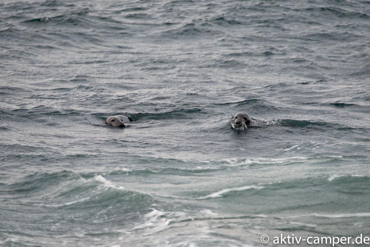 Seehunde am Hook Head