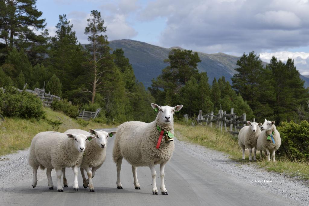 Schafe im Breheimen Nationalpark