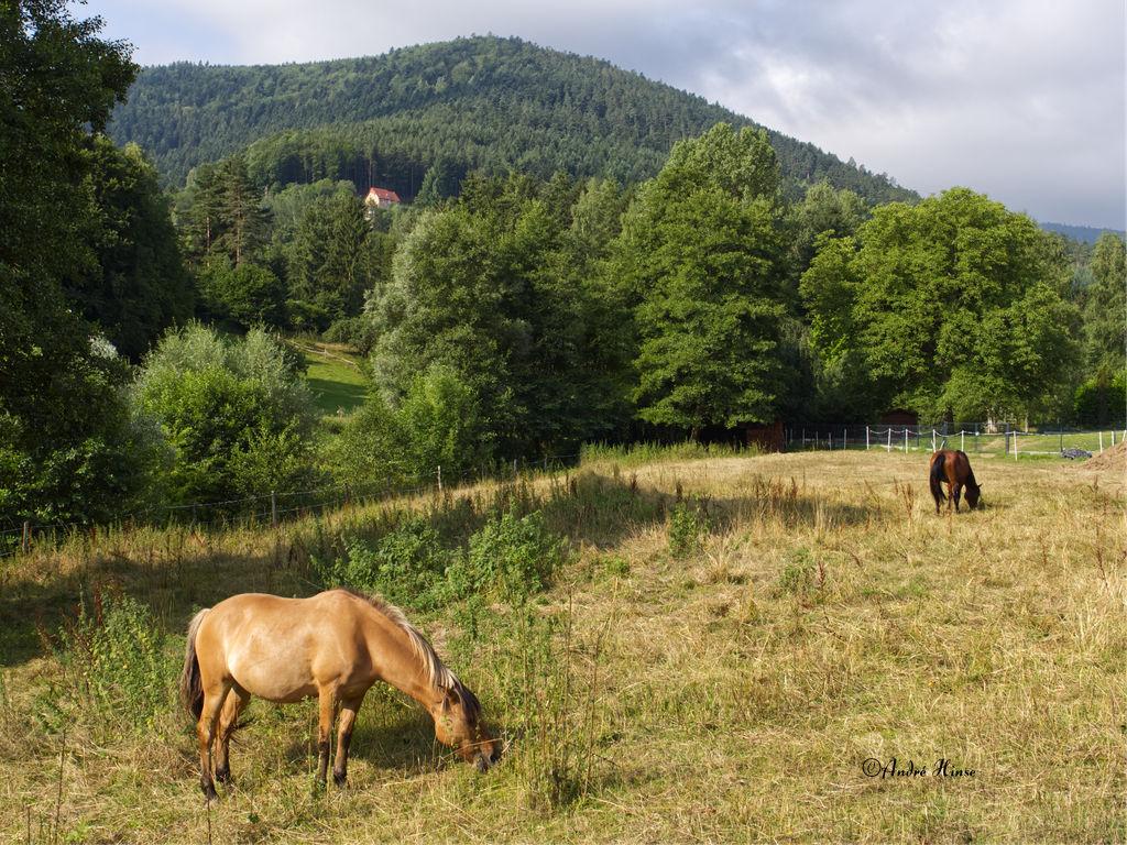 Pferde auf Koppel in den Vogesen
