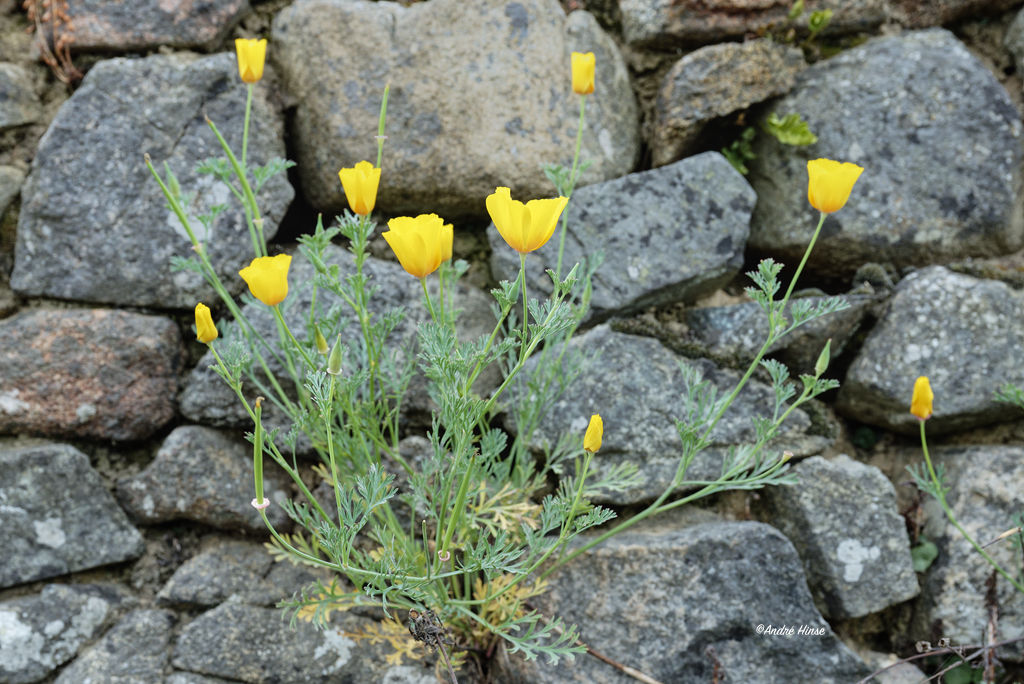 Mauerblume bei Le Goeffre
